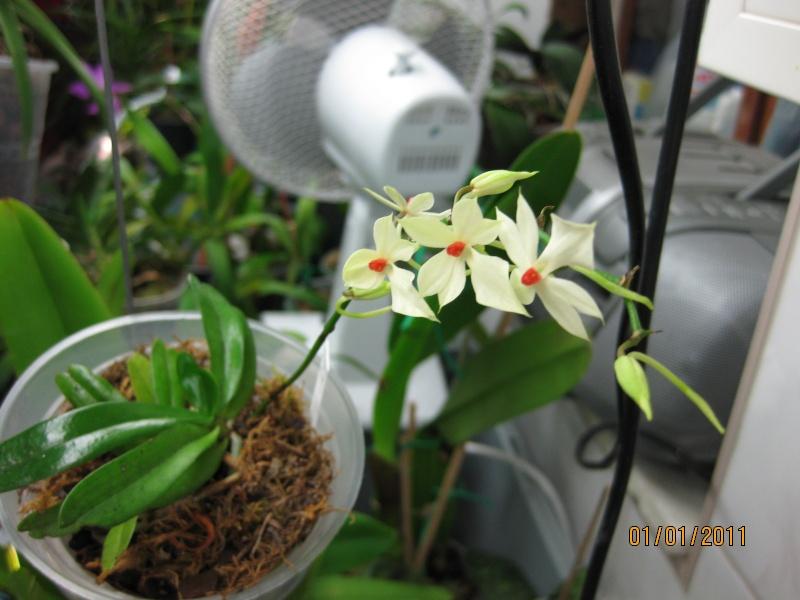 Aerangis rhodosticta 2011-010