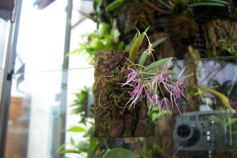 Miniatur- Orchideen - Seite 2 001210
