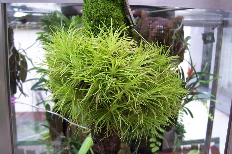 Miniatur- Orchideen 00710