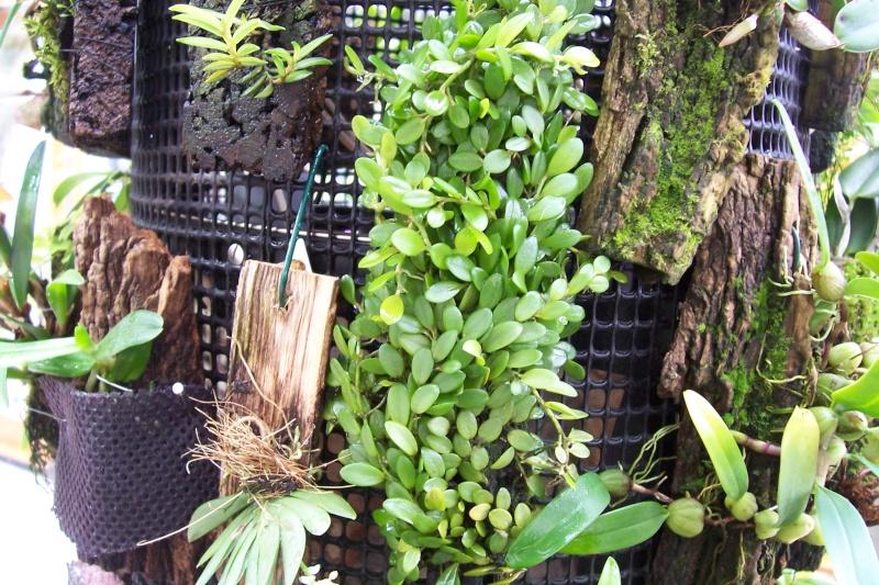 Miniatur- Orchideen Barbos10