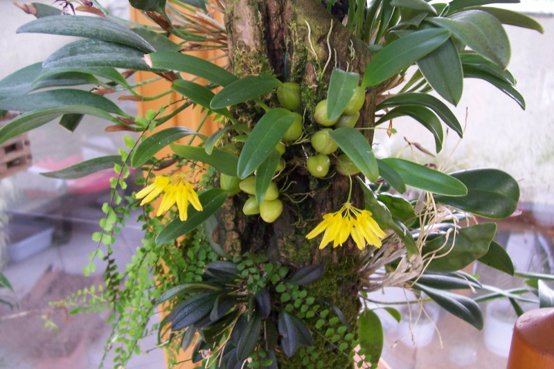 Miniatur- Orchideen Bulbop10