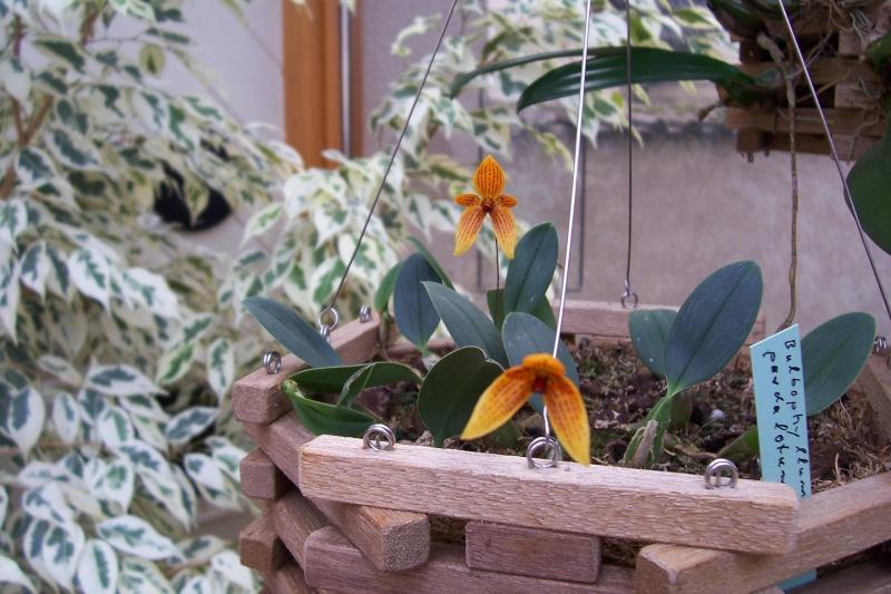 Miniatur- Orchideen Bulbop11