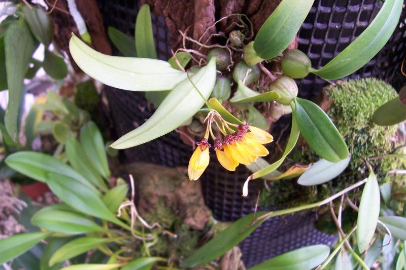 Miniatur- Orchideen Bulbop12