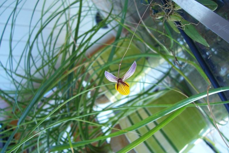 Miniatur- Orchideen Bulbop13