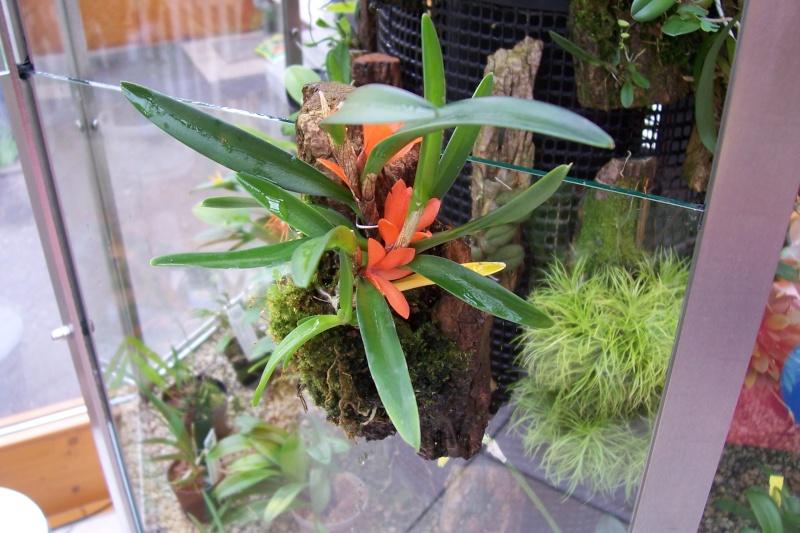Miniatur- Orchideen Cerato10