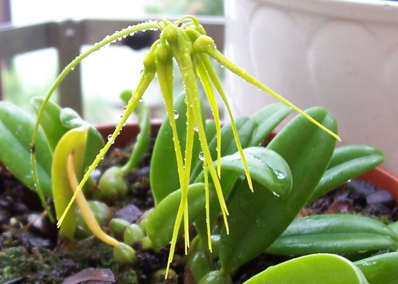 Miniatur- Orchideen Cirrho11