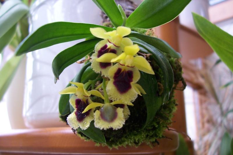 Miniatur- Orchideen Harael10
