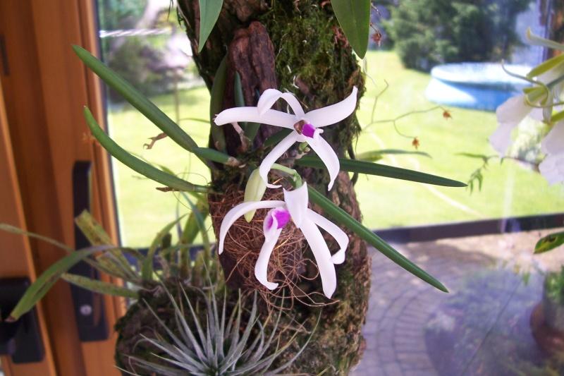 Miniatur- Orchideen Leptot10