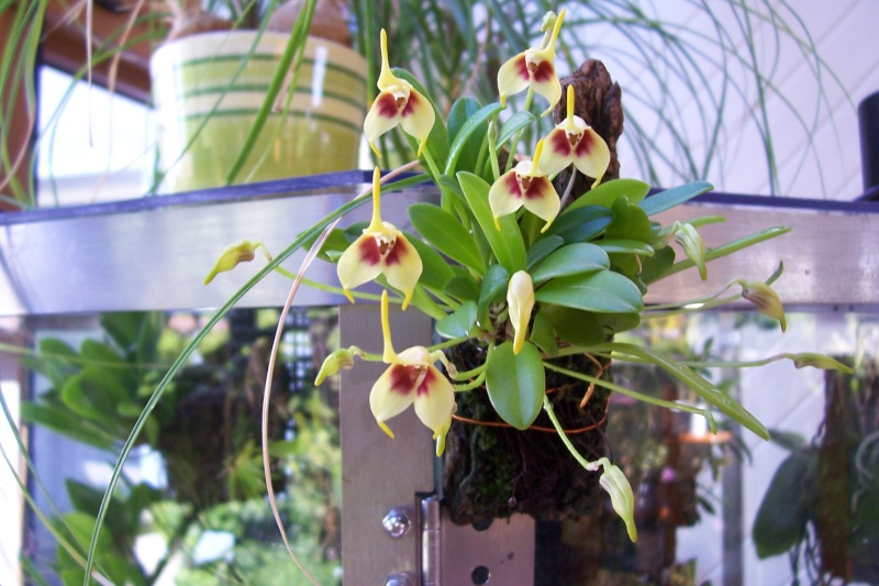 Miniatur- Orchideen Masdev10