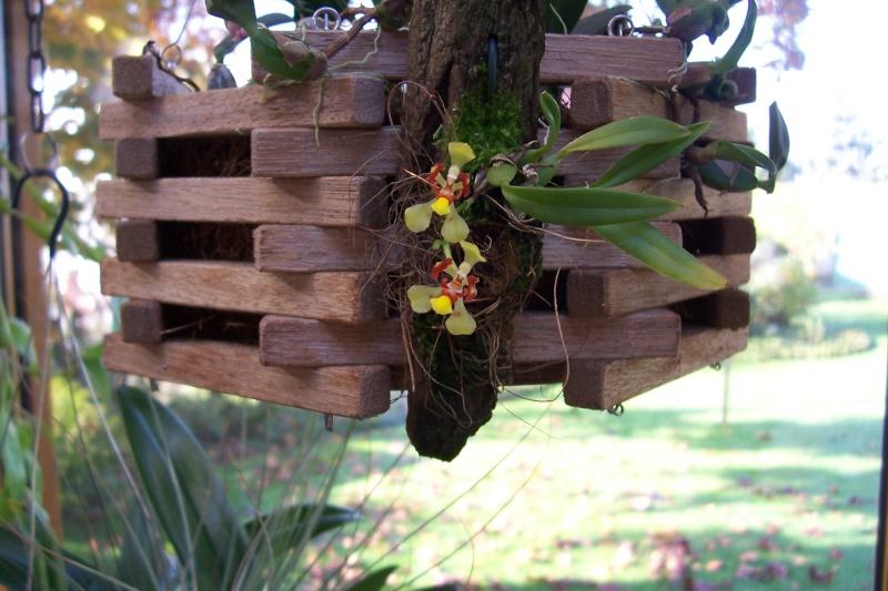 Miniatur- Orchideen Oncidi11