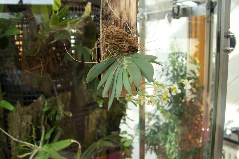 Miniatur- Orchideen Ornith11