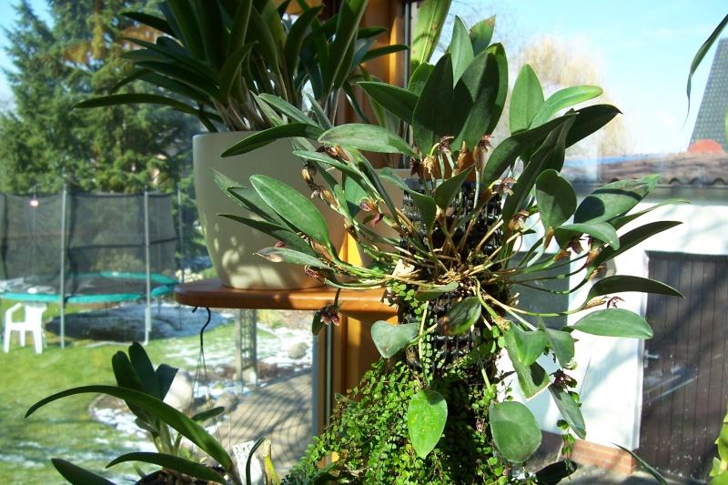 Pleurothallis talpinaria Pleuro10