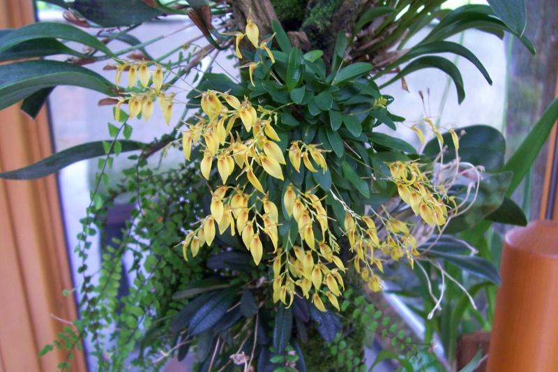 Miniatur- Orchideen Pleuro11