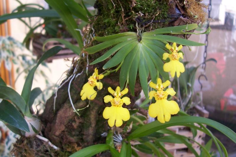 Miniatur- Orchideen Psygmo10