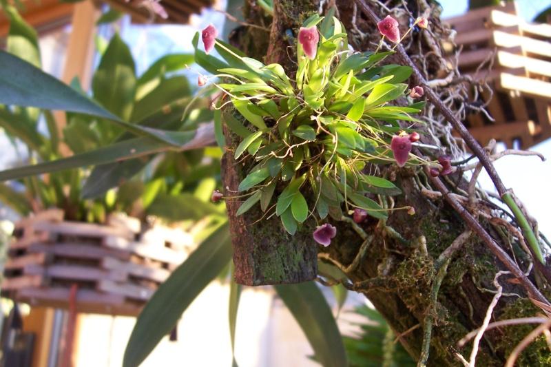 Miniatur- Orchideen Stelis10