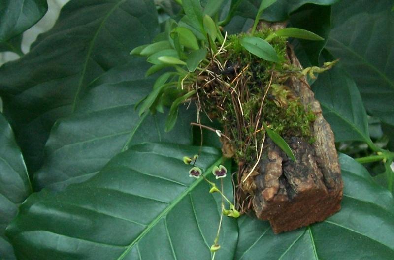 Miniatur- Orchideen Stelis11