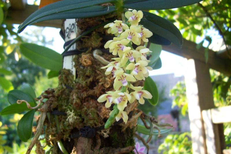 Miniatur- Orchideen Tubero10