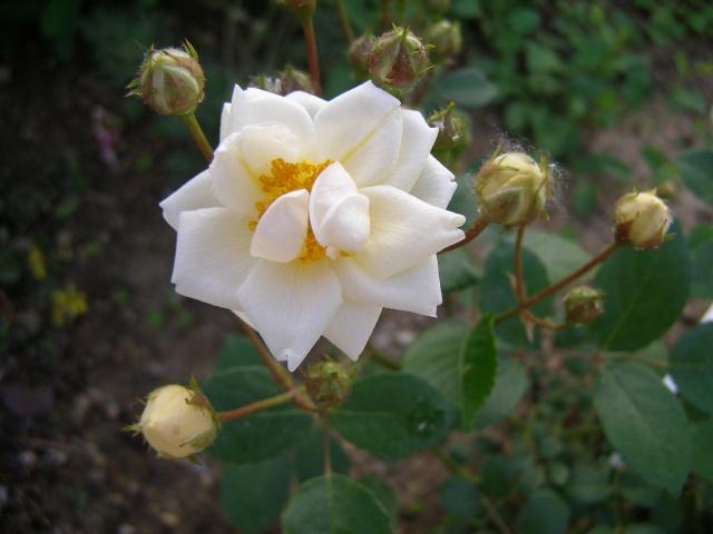 Bouquet Blanc ( Corrard) Bouque10