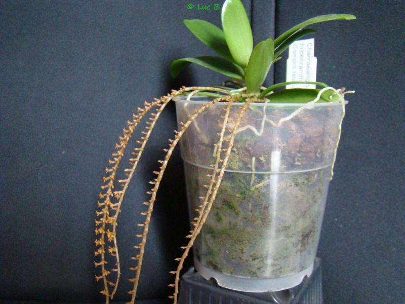 Chamaeangis hildebrandtii Chamae13