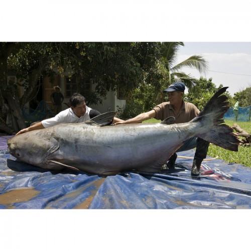 MonsterQuest: Peixes Gigantes 00070210