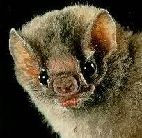 Morcegos Vampiros 2jp1k10