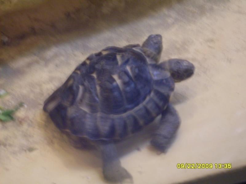 (Insolito) Tartaruga de 2 cabeças Hrj0ie10
