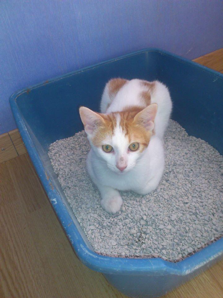 roux - Rouky - petit minou roux et blanc - Né le 15/05/2013 - en FA à L'Etoile (80) 10950010