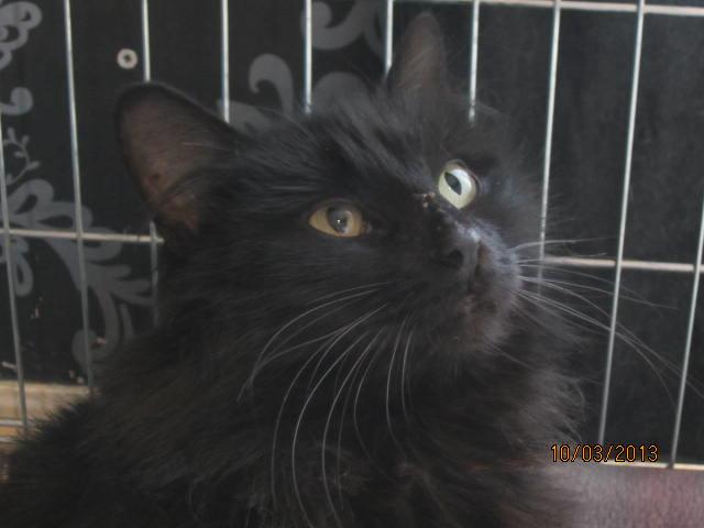 Iloa - superbe minette angora noire (80) Adoptée :) Img_3320