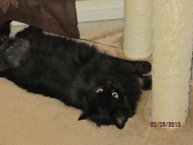 Iloa - superbe minette angora noire (80) Adoptée :) Img_3620