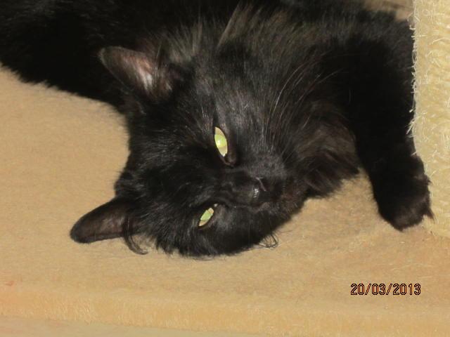 Iloa - superbe minette angora noire (80) Adoptée :) Img_3622