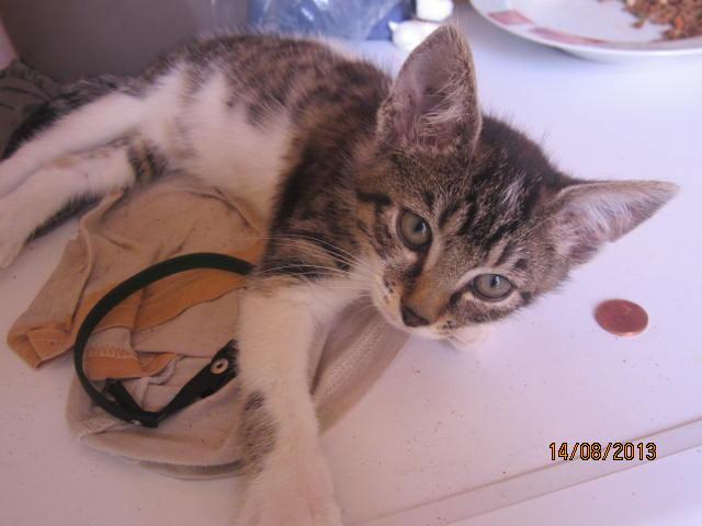Channel - Adorable chatonne tigrée et blanche - Née le 14/06/2013 - Adoptée dans le 80 Img_5411