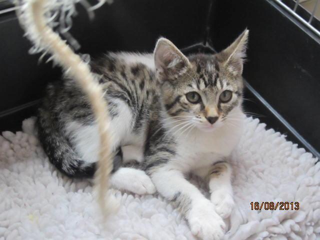 Channel - Adorable chatonne tigrée et blanche - Née le 14/06/2013 - Adoptée dans le 80 Img_5511