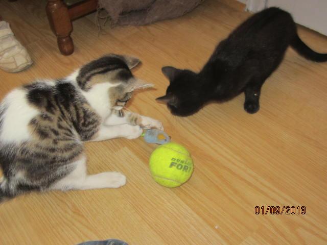 Channel - Adorable chatonne tigrée et blanche - Née le 14/06/2013 - Adoptée dans le 80 Img_5619