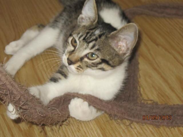 Channel - Adorable chatonne tigrée et blanche - Née le 14/06/2013 - Adoptée dans le 80 Img_5621