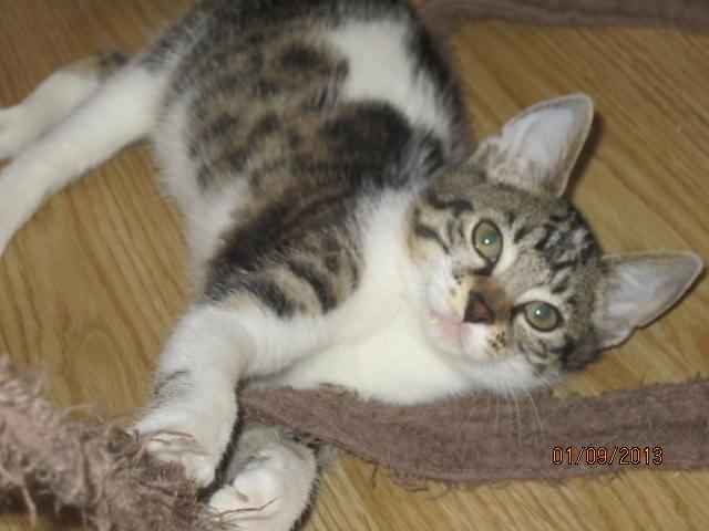 Channel - Adorable chatonne tigrée et blanche - Née le 14/06/2013 - Adoptée dans le 80 Img_5622