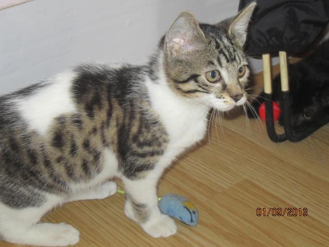 Channel - Adorable chatonne tigrée et blanche - Née le 14/06/2013 - Adoptée dans le 80 Img_5625