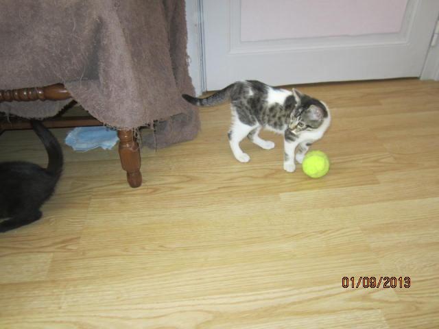 Channel - Adorable chatonne tigrée et blanche - Née le 14/06/2013 - Adoptée dans le 80 Img_5626