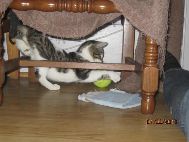 Channel - Adorable chatonne tigrée et blanche - Née le 14/06/2013 - Adoptée dans le 80 Img_5628