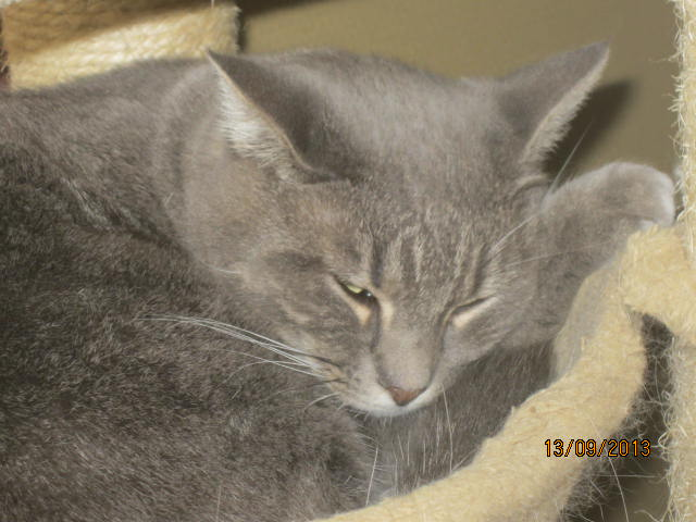 Freluge - grise tabby - Née en 2009, FIV + Img_5744