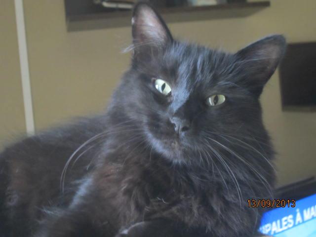 Iloa - superbe minette angora noire (80) Adoptée :) Img_5818