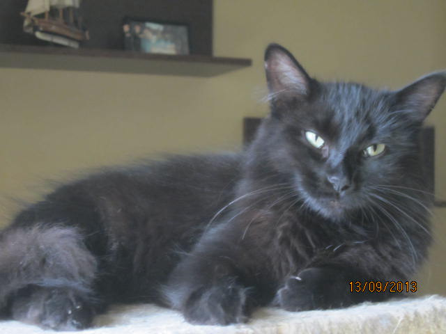Iloa - superbe minette angora noire (80) Adoptée :) Img_5820