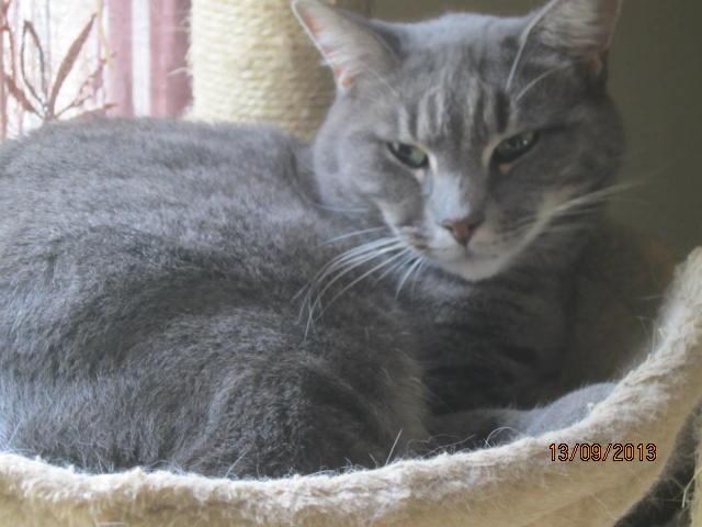 Freluge - grise tabby - Née en 2009, FIV + Img_5824