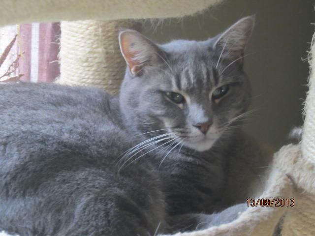 Freluge - grise tabby - Née en 2009, FIV + Img_5825