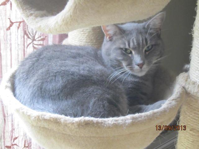 Freluge - grise tabby - Née en 2009, FIV + Img_5826