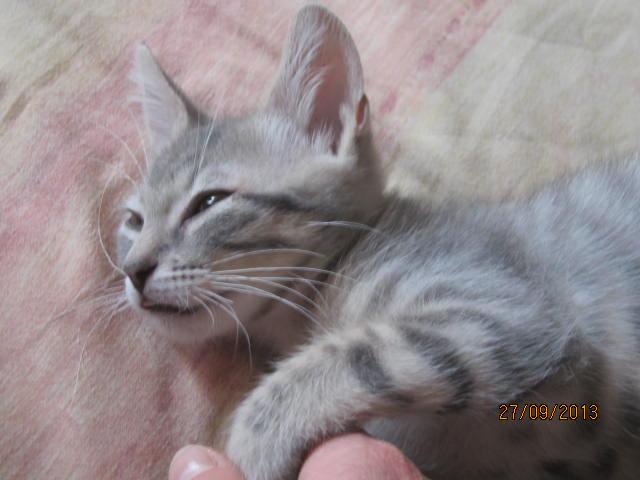 Tigrou - Magnifique minet tigré gris - Réservé Img_6113