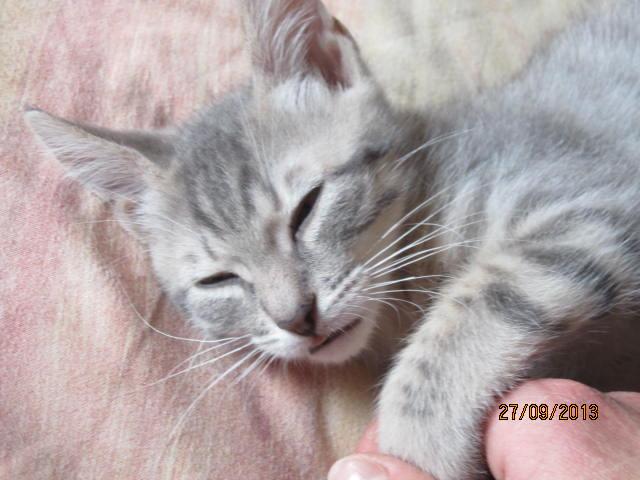 Tigrou - Magnifique minet tigré gris - Réservé Img_6114
