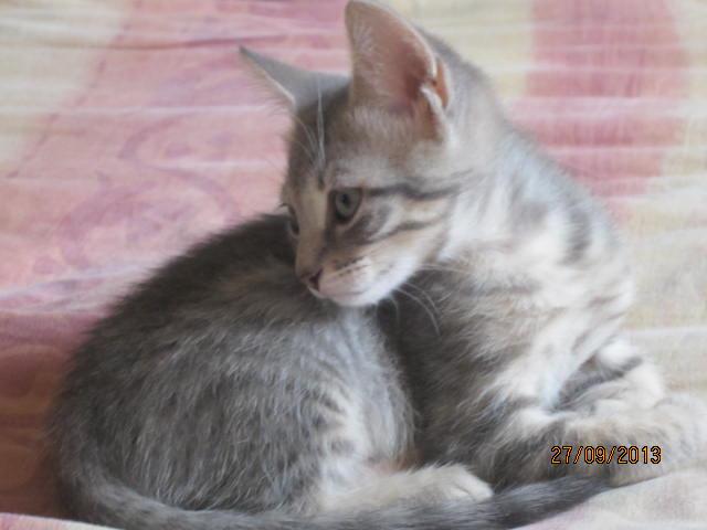 Tigrou - Magnifique minet tigré gris - Réservé Img_6225