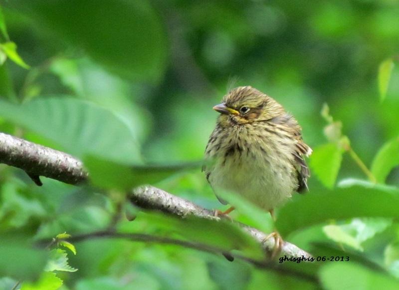 9 oiseaux chanteurs Bruant10