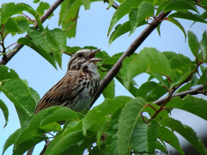 9 oiseaux chanteurs Bruant11