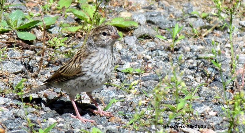 9 oiseaux chanteurs Bruant12